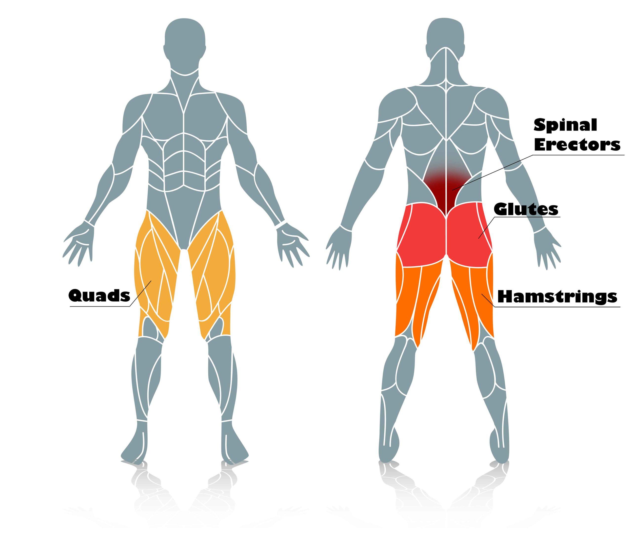 Deadlift Muscles